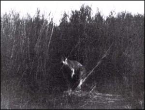 Phantom Kangaroo – Canguro Fantasma