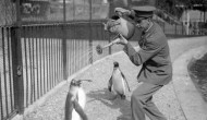 1930: A zookeeper gives penguins a delightful shower from a watering can